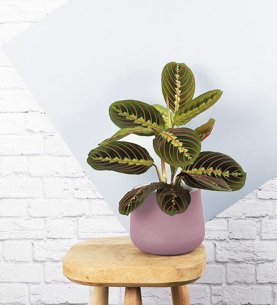 maranta: pianta ideale per camera da letto