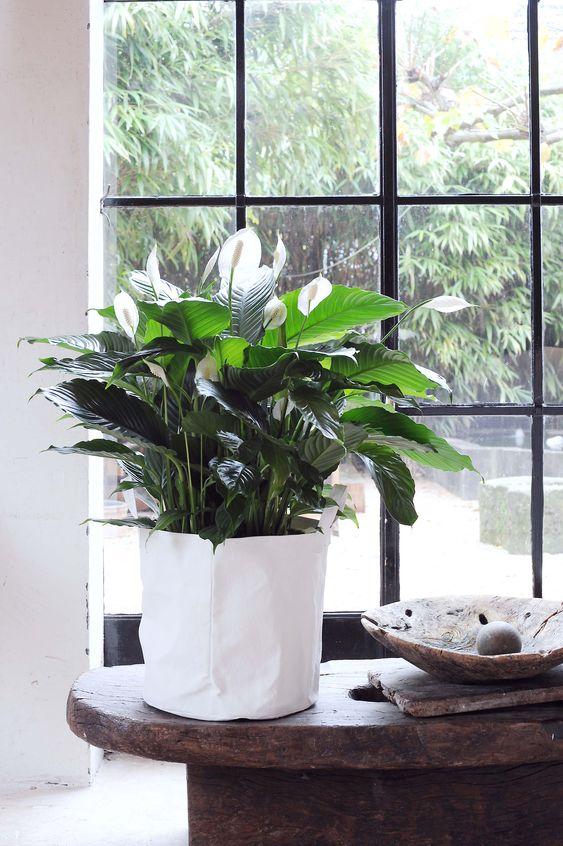 pianta anti formaldeide
