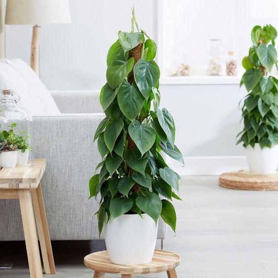 pianta zona giorno filodendro
